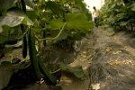 contamined cucumbers