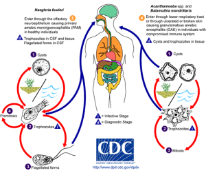 Amebic Infectiosn